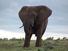 Elefant in der Nähe der NMMU