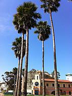 Palmen auf dem Campus der UC Santa Barbara