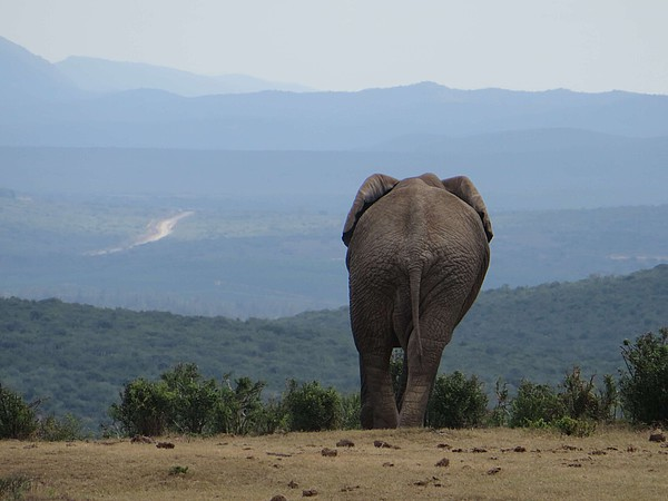 Elefant in Port Elizabeth