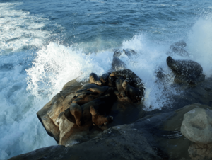 Seelöwen in San Diego