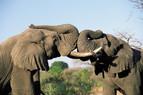 Elefanten in freier Natur in Südafrika