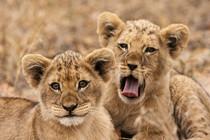Löwenbabys in Südafrika
