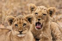 Zwei junge südafrikanische Löwen